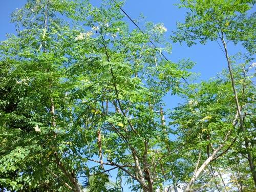 マルンガイの木